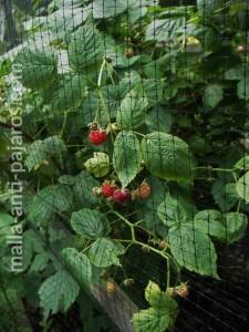 Instalación de encajonamiento en cultivo de frambuesa