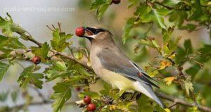 Árbol frutal sin protección de malla antipájaros