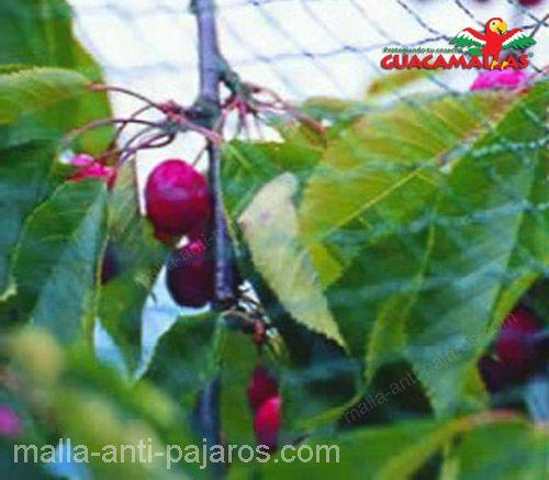 malla anti-pájaros en cultivo de cerezas.