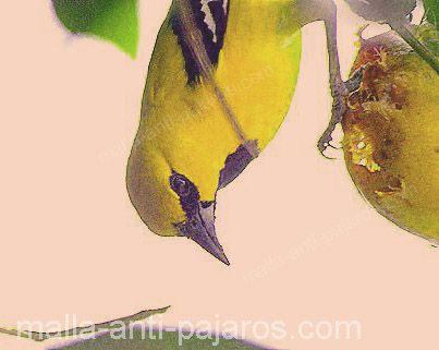 Ave comiendo cosecha de mango