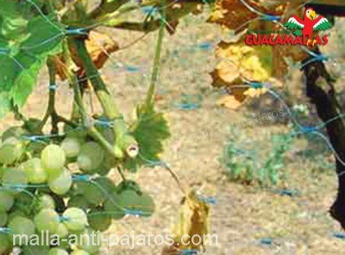 cultivo de uvas con GUACAMALLAS.